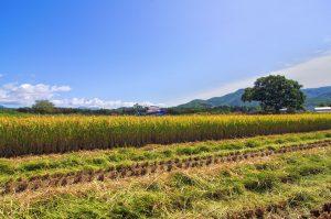 北海道稲刈り2019